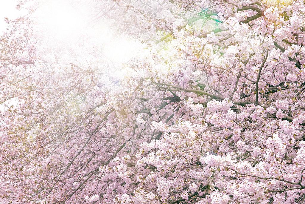 ソメイヨシノの寿命60年は実はウソ!桜の命は延命可能!