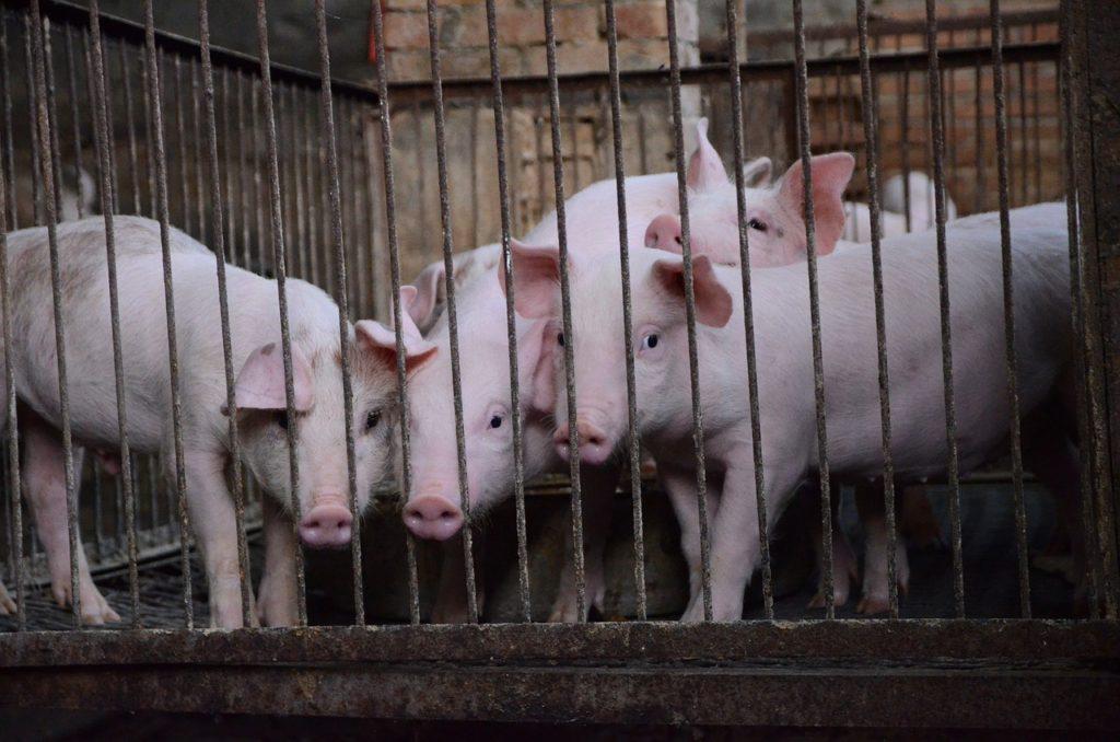 イスラム教徒とユダヤ教徒が豚肉を食べない【本当の理由】を徹底解説!